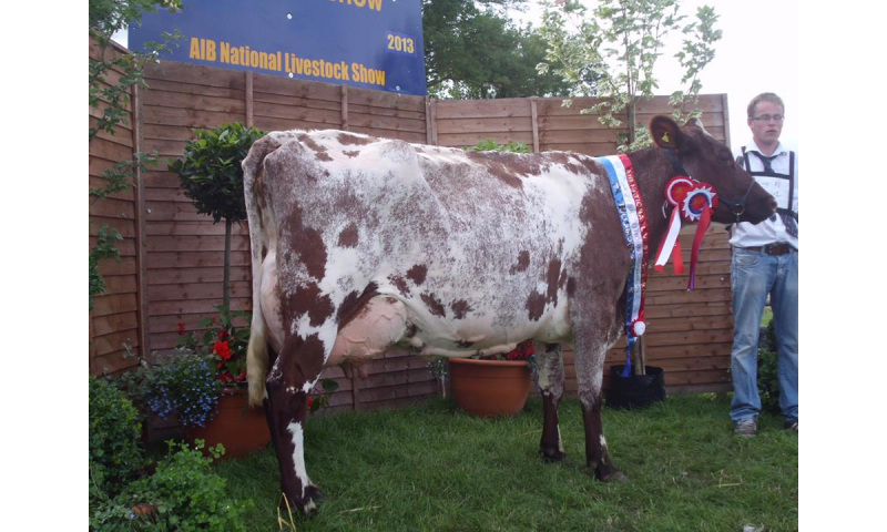 overall-champion-dairy-shorthorn