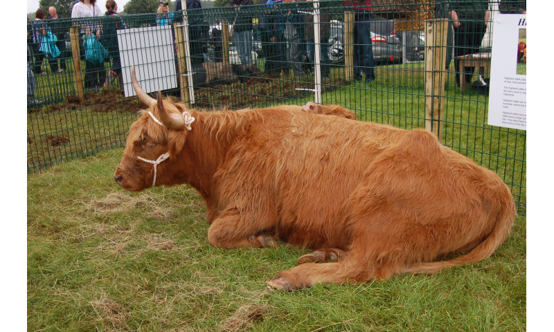 rare-breed-highland-cattle-2012-2