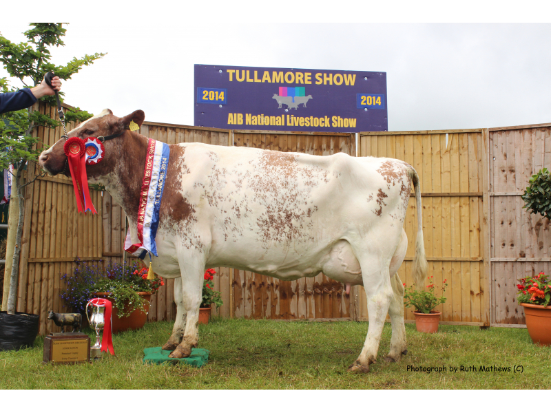 dairy-champion-2014-brown-white-cow