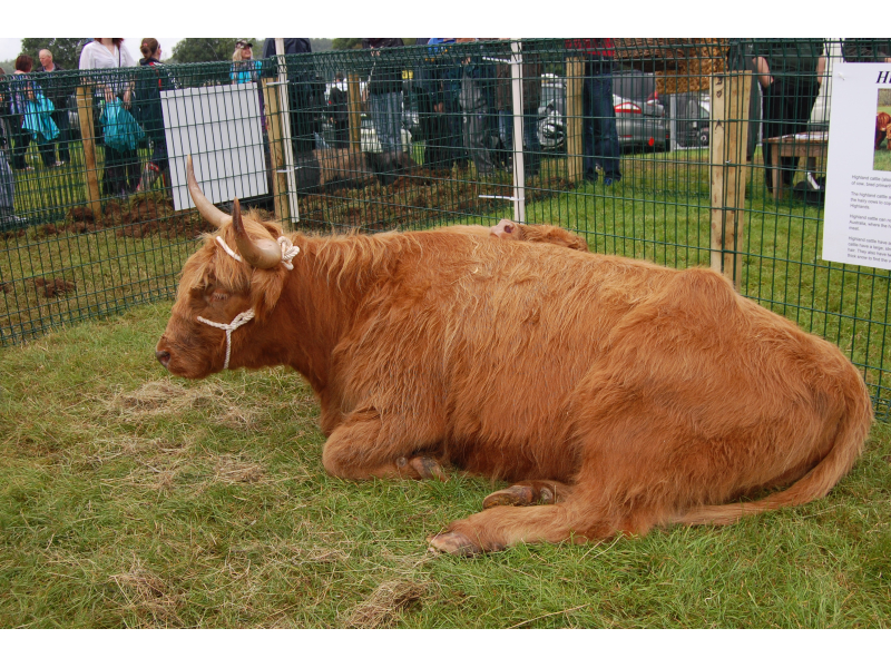rare-breed-highland-cattle-2012-1