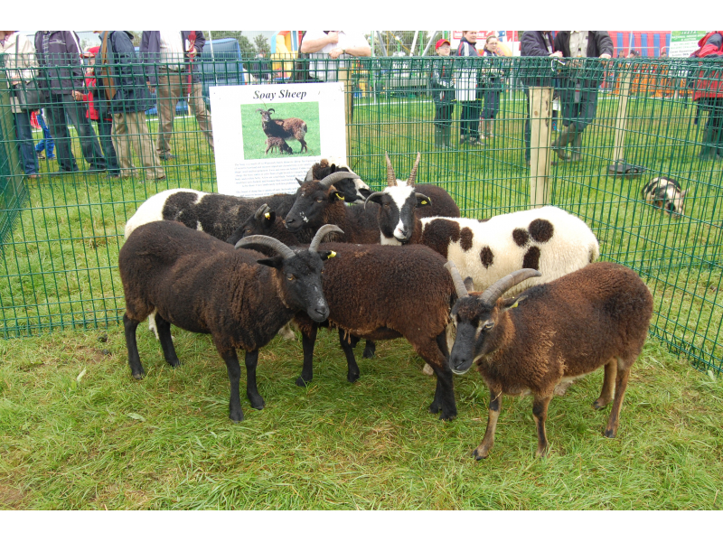 rare-breed-soay-sheep-2012