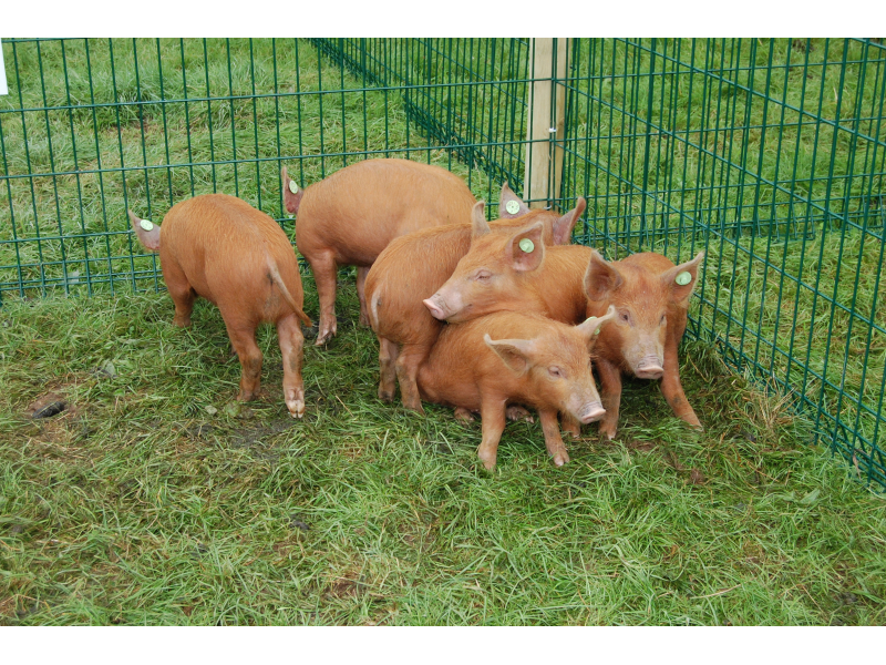 rare-breed-tamworth-pig-1
