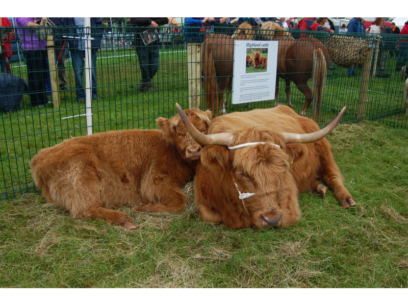 rare-breeds-highland-cattle-2012-2
