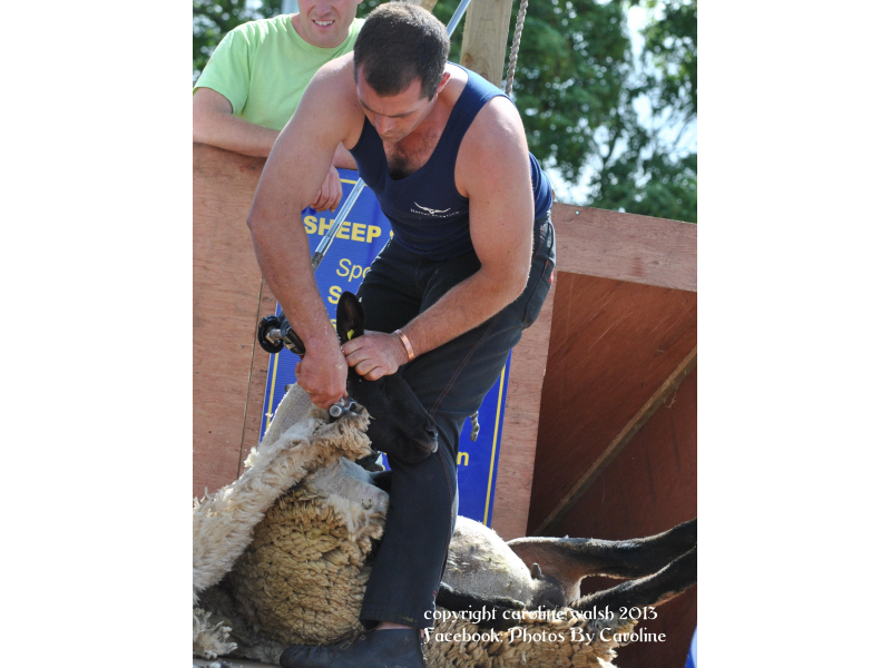 sheep-shearing-2013-1